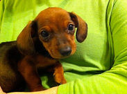 3 week old Dachshund puppy