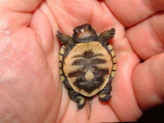 Baby turtle on its back