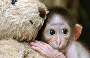 Baby monkey and teddy bear