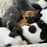 Little adopted chihuahua pup and his new siblings