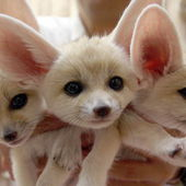Three fennec fox babies