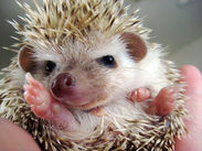 What a cute hedgehog baby!