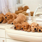 7 Golden Retriever Puppies