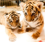 Two adorable tiger cubs